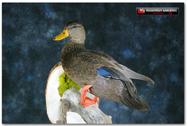 Black Duck, Black Duck Mounts, Waterfowl Taxidermy, Bird Taxidermy, Roughrider Gamebirds