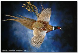 pheasantdarlarge.jpg