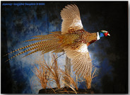 pheasantdouglarge1.jpg
