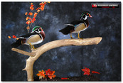 Wood Ducks, Wood Duck Mounts, Bird Taxidermy, Waterfowl Taxidermy, Roughrider Gamebirds