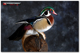 Wood Duck, Wood Duck Mounts, Bird Taxidermy, Waterfowl Taxidermy, Roughrider Gamebirds