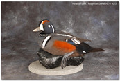 Harlequin Duck, Harlequin Duck Mounts, Bird Taxidermy, Waterfowl Taxidermy, Roughrider Gamebirds