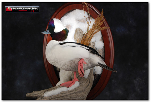 Bufflehead, Bufflehead Mounts, Bird Taxidermy, Waterfowl Taxidermy, Bird Taxidermist, Roughrider Gamebirds