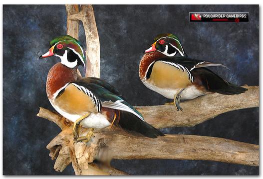 Wood Ducks, Bird Taxidermy, Duck Mounts, Waterfowl Taxidermy, Wood Duck Mounts, Roughridergamebirds