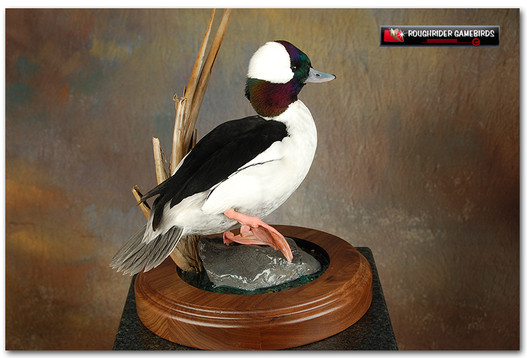 Bufflehead, Bufflehead Mount, Bird Taxidermy, Waterfowl Taxidermy, Roughrider Gamebirds, Duck Mounts