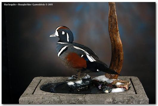 Harlequin, Harlequin Duck Mount, Bird Taxidermy, Waterfowl Taxidermy, Roughrider Gamebirds