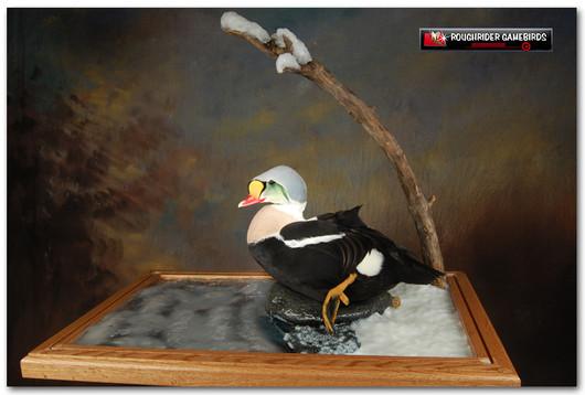 King Eider, King Eider Mount, Bird Taxidermy, Waterfowl Taxidermy, Roughrider Gamebirds
