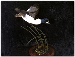 Barrows Goldeneye, Barrows Goldeneye Mounts, Bird Taxidermy, Waterfowl Taxidermy, Roughrider Gamebirds