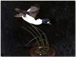 Barrows Goldeneye, Barrows Goldeneye Mounts, Bird Taxidermy, Waterfowl Taxidermy, Roughrider Gamebirds
