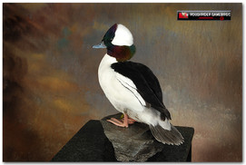 Bufflehead, Bufflehead Mounts, Bird Taxidermy, Waterfowl Taxidermy, Roughrider Gamebirds