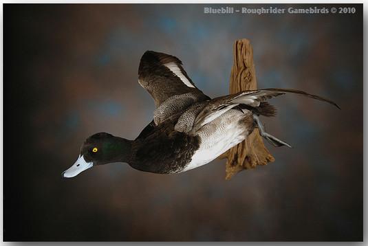 Bluebill, Bluebill Mounts, Lesser Scaup, Bird Taxidermy, Waterfowl Taxidermy, Bird Taxidermist, Roughrider Gamebirds