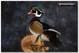 Wood Duck, Wood Duck Mount, Bird Taxidermy, Waterfowl Taxidermy, Roughrider Gamebirds