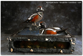 Harlequin Ducks, Harlequin Duck Mounts, Bird Taxidermy, Waterfowl Taxidermy, Roughrider Gamebirds