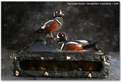 Harlequin Ducks, Harlequin Duck Mounts, Bird Taxidermy, Waterfowl Taxidermy, Roughrider Gamebirds