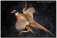 pheasantflylarge.jpg