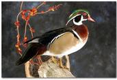 Wood Duck, Wood Duck Mount, Bird Taxidermy, Waterfowl Taxidermy, Roughrider Gamebirds