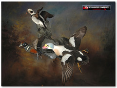 King Eider, King Eider Mounts, Harlequin, Harlequin Mounts, Oldsquaw, Oldsquaw Mounts, Bird Taxidermy, Waterfowl Taxidermy, Roughrider Gamebirds