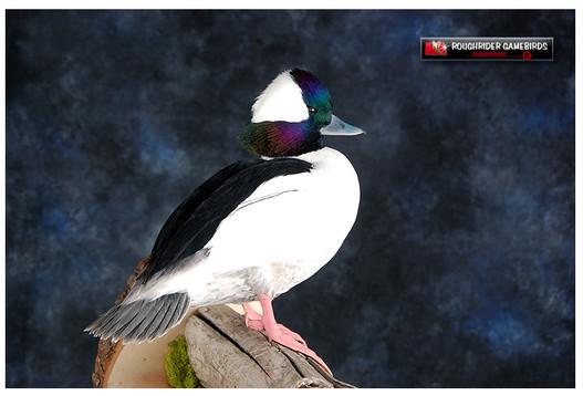 Buffhead, Bufflhead Duck Mounts, Bird Taxidermy, Waterfowl Taxidermy, Roughrider Gamebirds