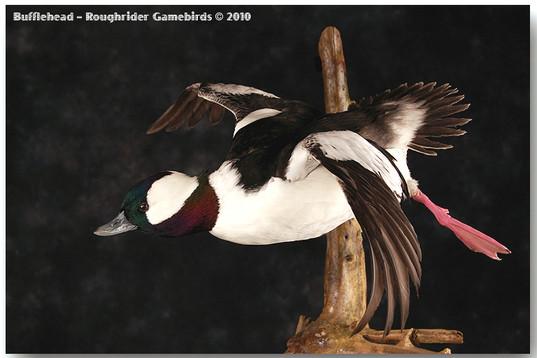 Bufflehead, Bufflehead Mounts, Bird Taxidermy, Waterfowl Taxidermy, Roughrider Gamebirds