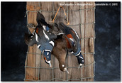 Harlequin Duck Mounts, Harelquin Ducks, Bird Taxidermy, Waterfowl Taxidermy, Roughrider Gamebirds