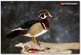 Wood Duck, Wood Duck Mounts, Bird Taxidermy, Waterfowl Taxidermy, Bird Taxidermy, Roughrider Gamebirds