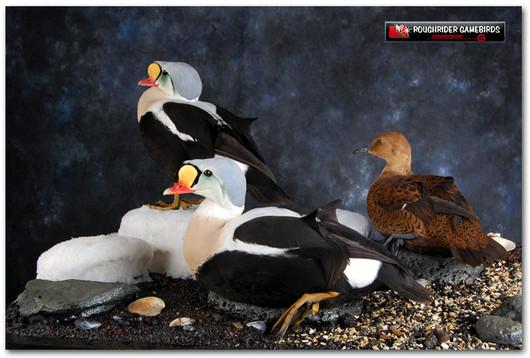King Eider Mounts, King Eider, Bird Taxidermy, Waterfowl Taxidermy, Roughrider Gamebirds