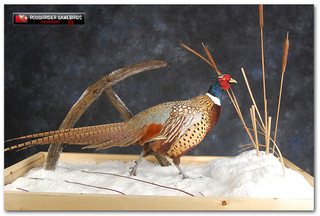 pheasant2016large.jpg