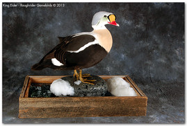 King Eider, King Eider Mounts, Bird Taxidermy, Waterfowl Taxidermy, Roughrider Gamebirds