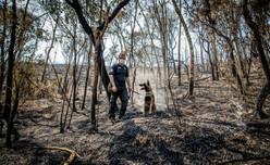 Cães farejadores auxiliam na busca por animais feridos ou mortos.