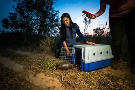 Veterinária Carol Machado realizando a soltura de um tatu-galinha resgatado e recuperado pela equipe.