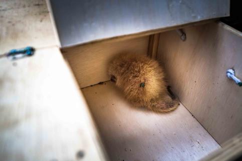 Ouriço-cacheiro resgatado.