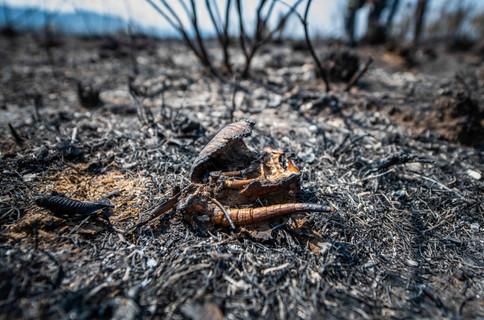 Carcaça de tatu-galinha (Dasypus novemcinctus), queimado pelo fogo.