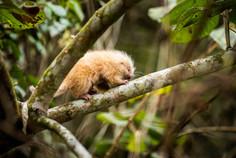 Ouriço-cacheiro (Coendou spinosus) órfão encontrado em região de queimada. Segundo análise dos bíologos, o animal não teria condições de sobreviver sozinho no local.
