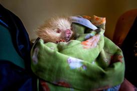 Ouriço após procedimentos de checagem. Animal em boas condições físicas, porém não pôde retornar ao seu habitat até que estivesse apto a sobreviver sem sua mãe. Encaminhado para o CRAS (Centro de Reabilitação de Animais Silvestres).