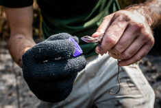 Biólogo Danilo Garzillo hidratando calango encontrado em região seca.
