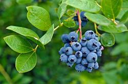 Ripe blueberries on bush