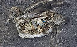 estômago de ave repleto de material plástico