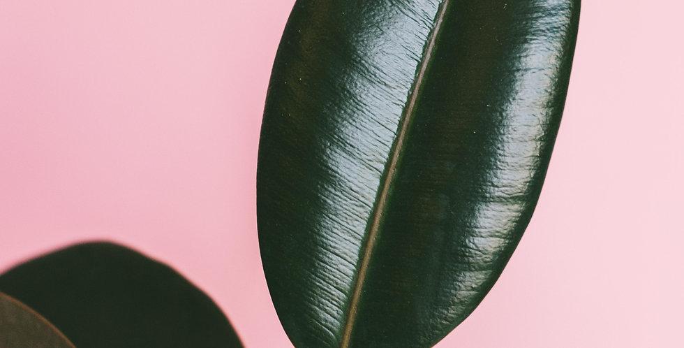 Rubber Plant - $55