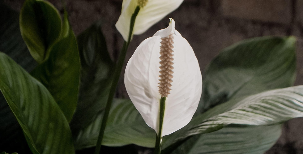 Peace Lily - $40