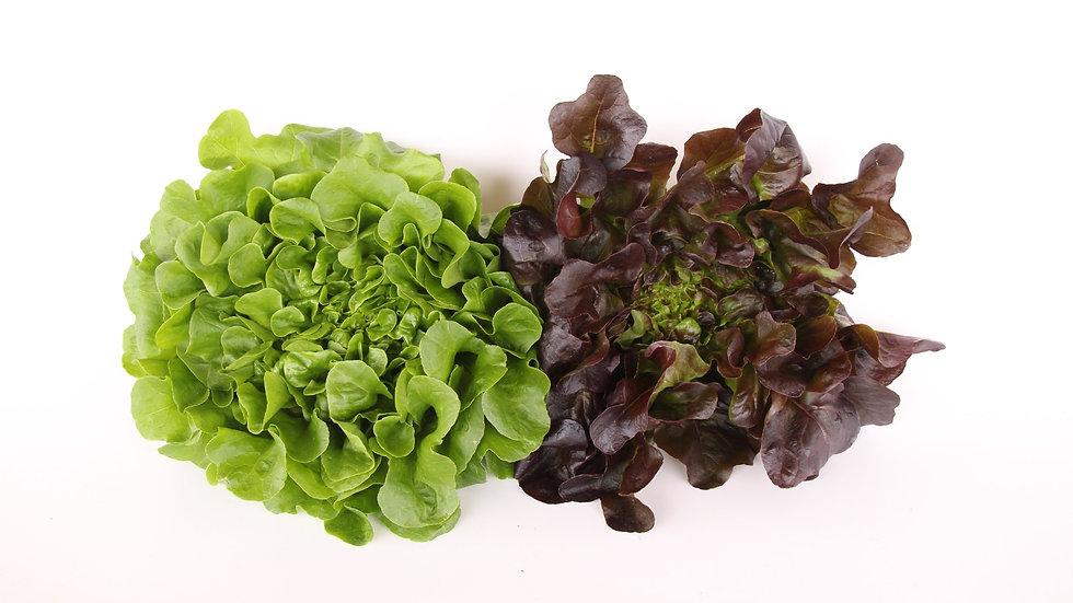 חסה באן - Bun lettuce