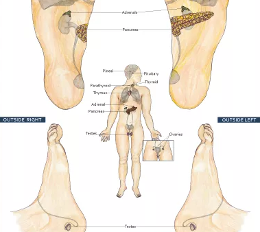 Reflexology and the Endocrine System