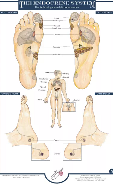 Reflexology And The Endocrine System Massage San Francisco