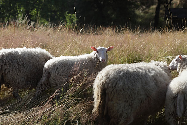 sheeps, ovce