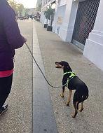 chien marche en laisse.jpg