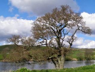 Celtic Tree Wisdom. The Alder Tree : Fearn