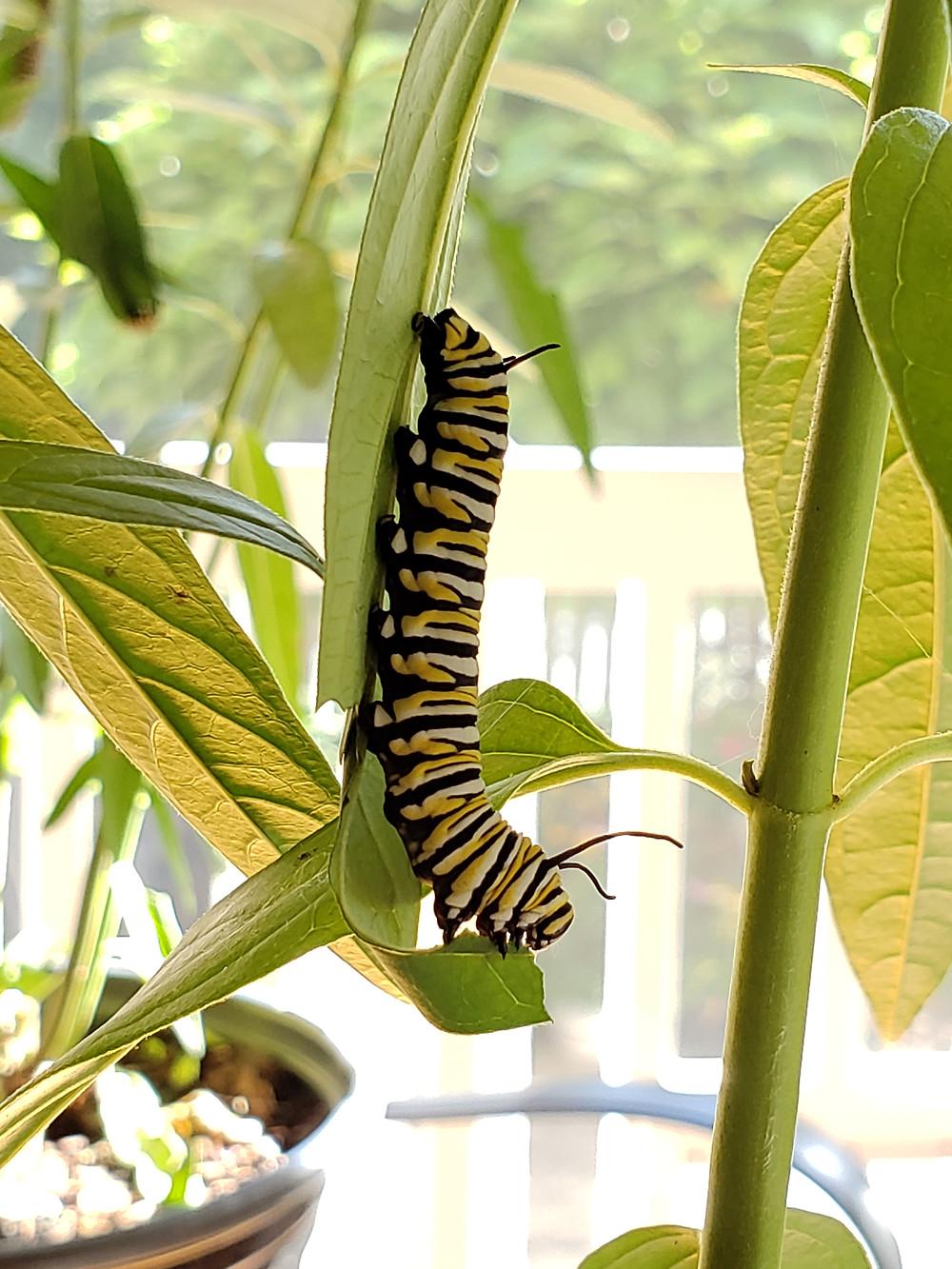 Profile photo of caterpillar on leaf.