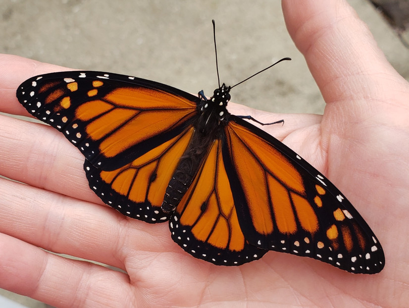 A Step-by-Step Guide to Raising Monarchs (and a Caution!)