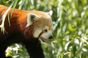 panda roux gros plan.jpg