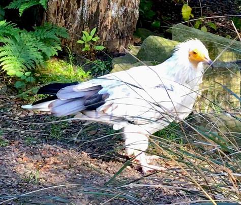 Edinburgh Zoo White Vulture Aviary Scotl