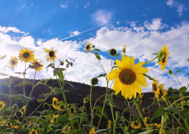 Sun flowers, New Mexico